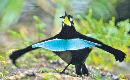 vogelkop spesis baru bird of paradise yang sangat menakjubkan 5