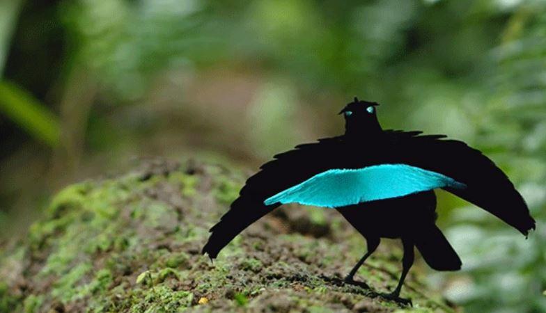 vogelkop spesis baru bird of paradise yang sangat menakjubkan 6
