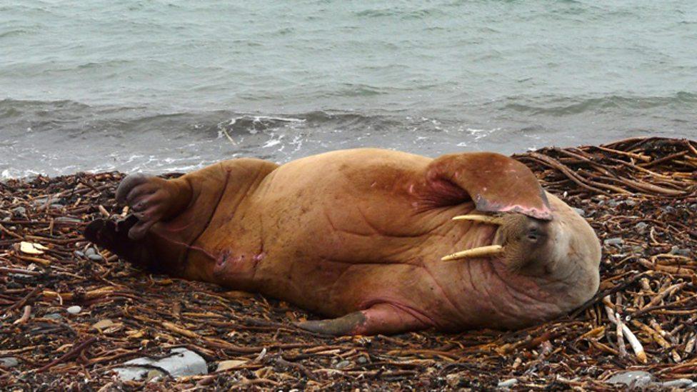 walrus 8 haiwan dengan tabiat tidur yang pelik dan unik
