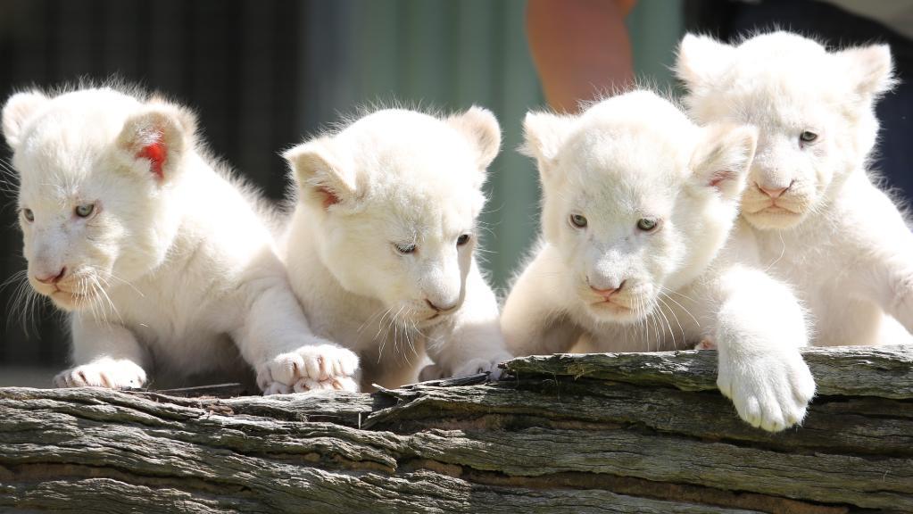 white lion cubs yang sangat comel