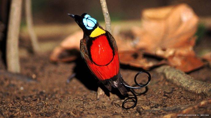 wilson s bird of paradise