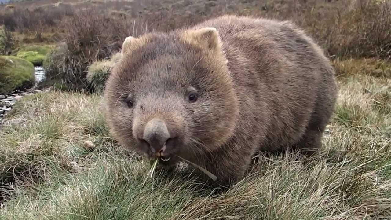 wombat hanya terdapat di australia