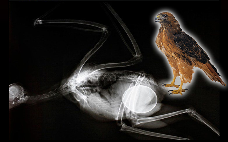 x ray burung hawk