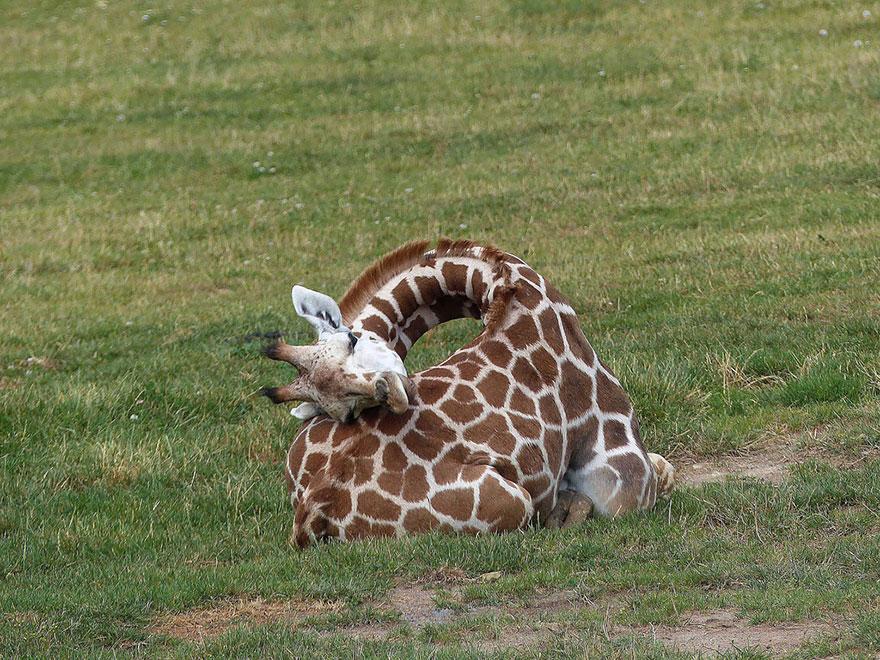 zirafah 8 haiwan dengan tabiat tidur yang pelik dan unik