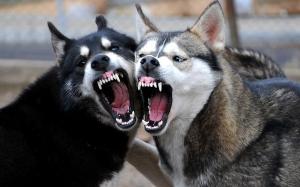 10 baka anjing yang paling berbahaya di dunia
