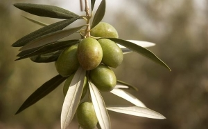Fakta yang anda perlu tahu sebelum beli Olive Oil (Minyak Zaitun)