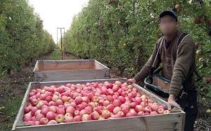 Kecewa Dalam Percintaan, Lelaki Ini Berhijrah Bekerja Petik Buah Di Australia Dengan Gaji Lumayan  - Bahagian 1